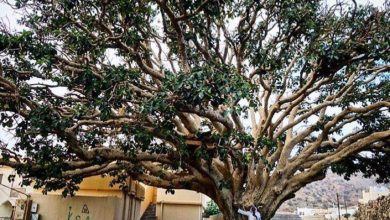 صورة رحيل أكبر معلم تاريخي ( شجرة الرقاع)